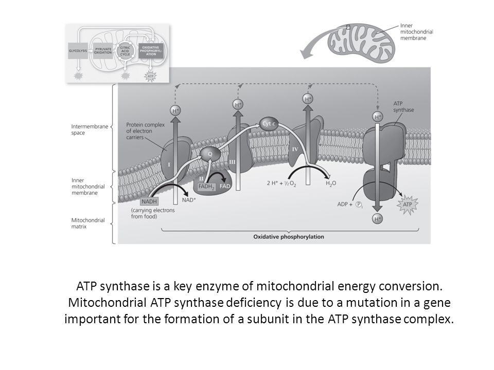 ATP synthase is a key enzyme of mitochondrial energy conversion
