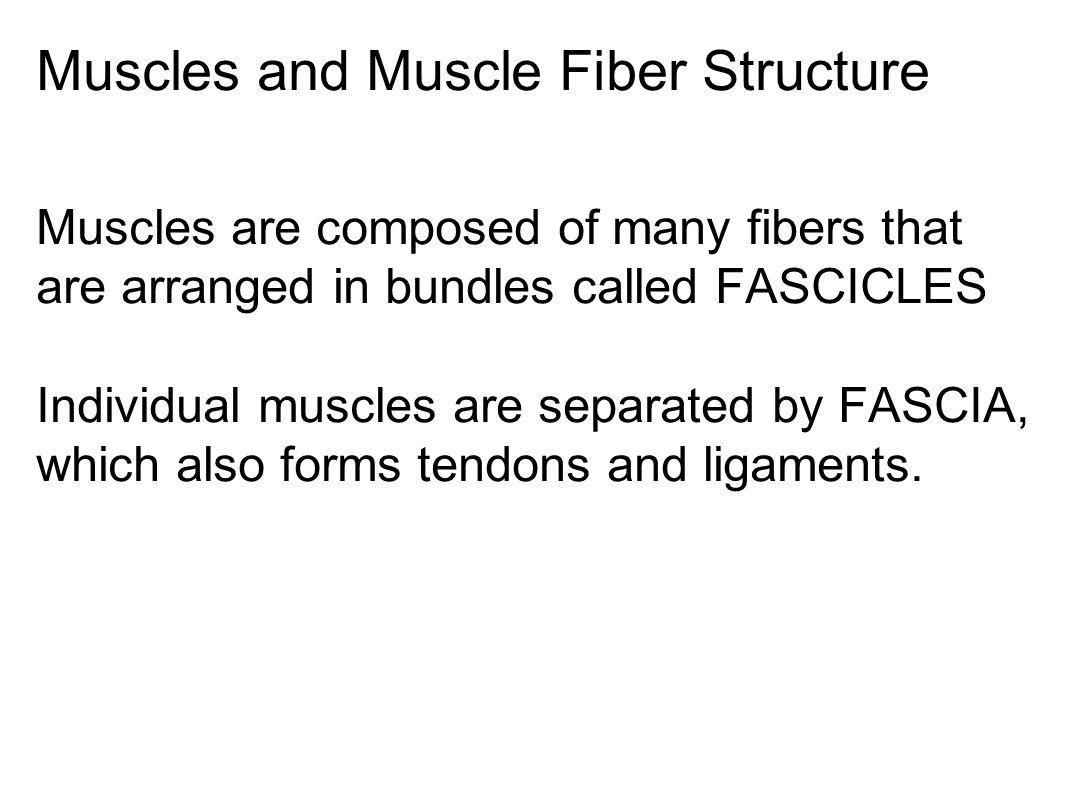 Muscle Layers: Epimysium, Perimysium, and Endomysium
