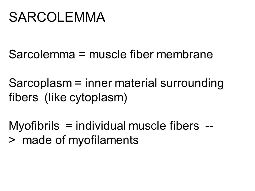 Myofibril (Muscle fiber or cell)