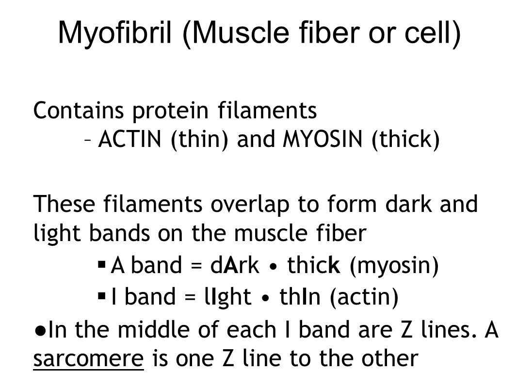 Structure of a Sarcomere (functional unit of a muscle)