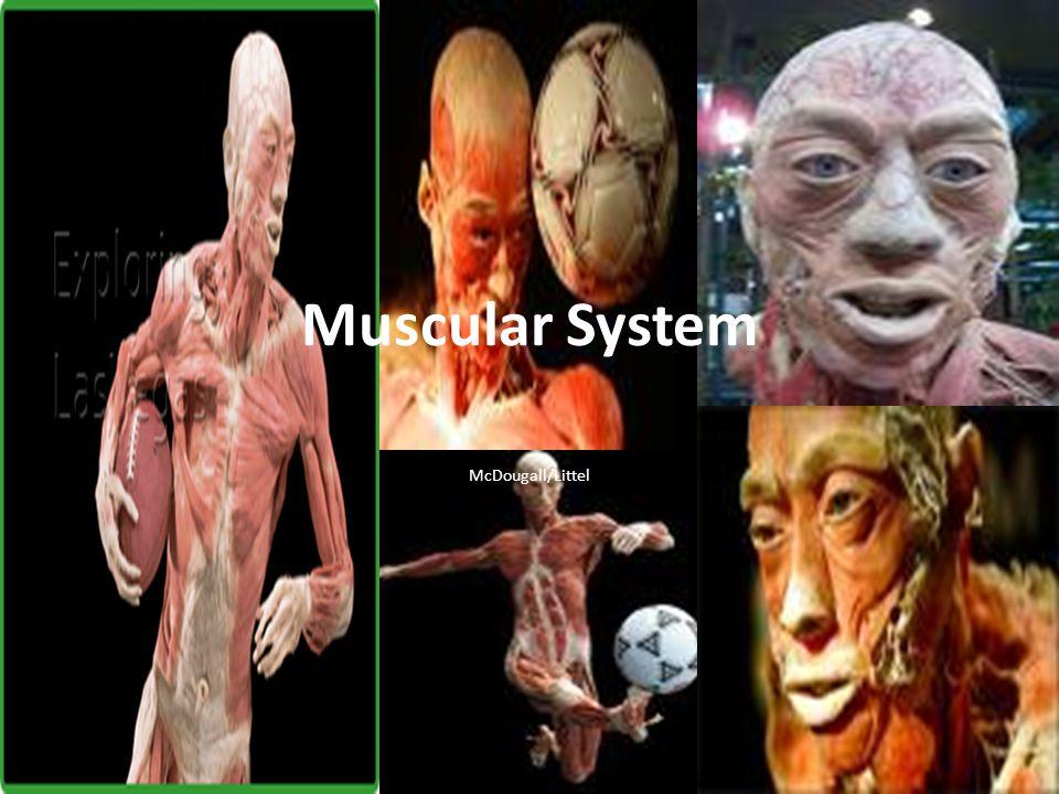 Muscular System McDougall/Littel