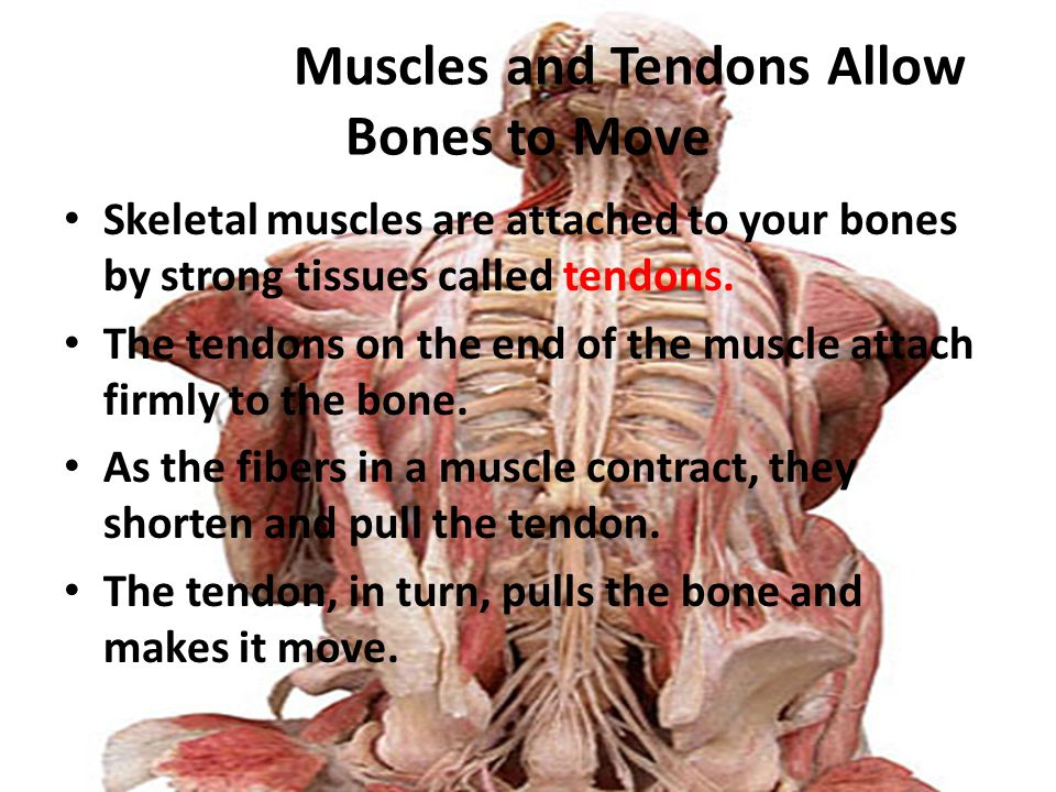 Skeletal Muscles and Tendons Allow Bones to Move