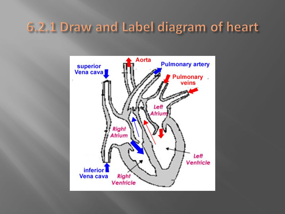 6.2.1 Draw and Label diagram of heart
