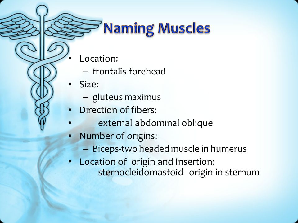 Naming Muscles Location: Size: Direction of fibers: