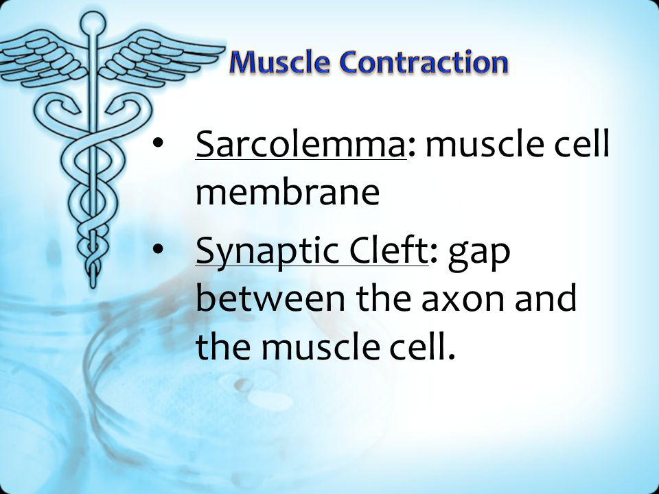 Sarcolemma: muscle cell membrane