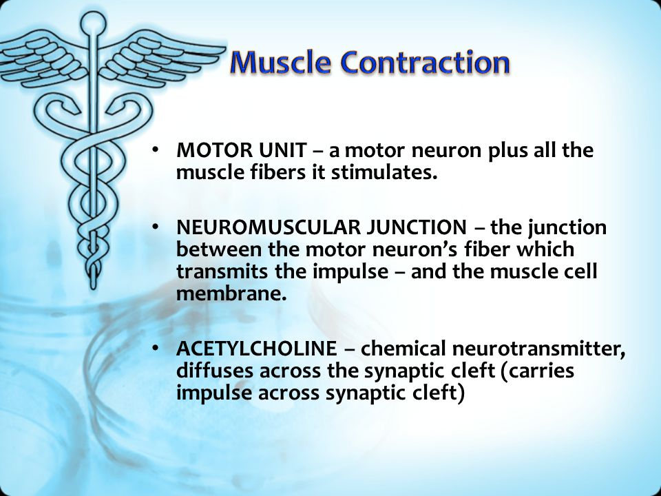 Muscle Contraction MOTOR UNIT – a motor neuron plus all the muscle fibers it stimulates.