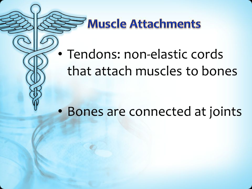 Tendons: non-elastic cords that attach muscles to bones
