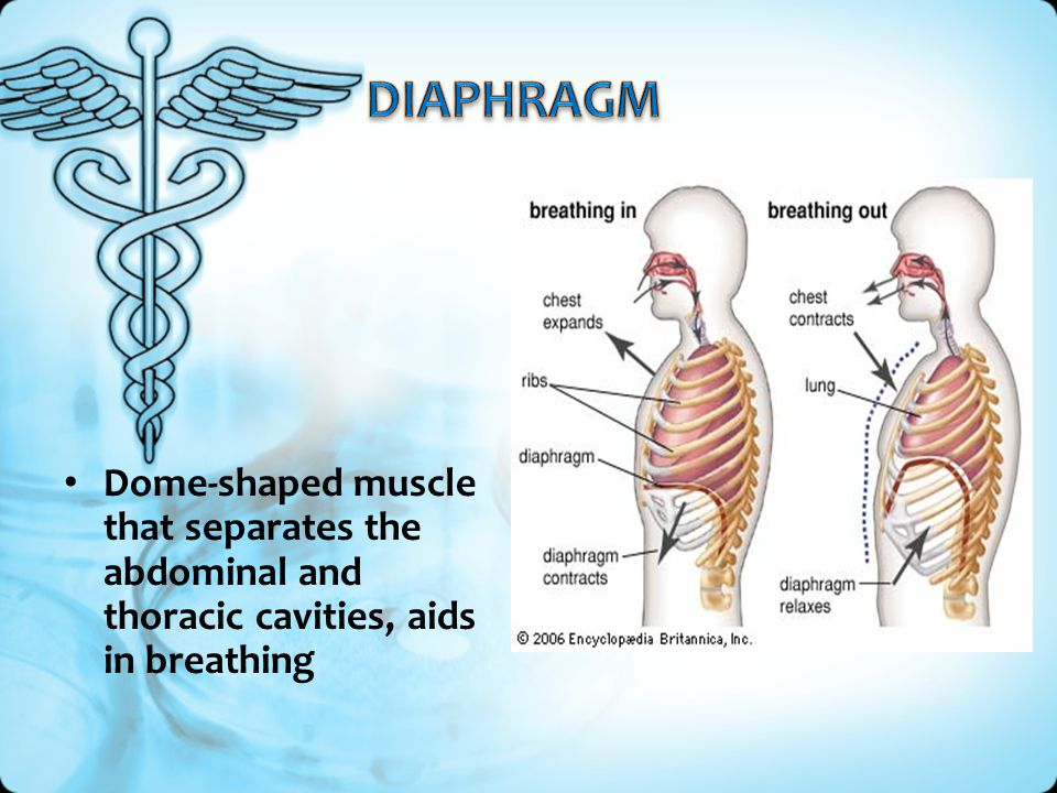 DIAPHRAGM Dome-shaped muscle that separates the abdominal and thoracic cavities, aids in breathing