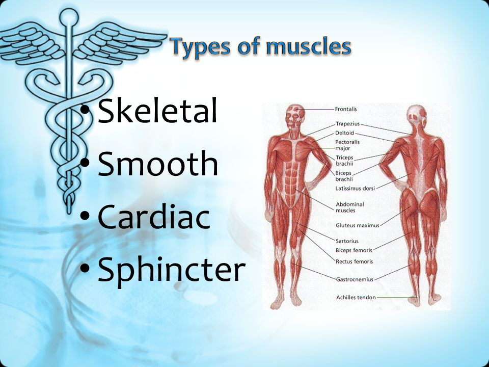 Types of muscles Skeletal Smooth Cardiac Sphincter