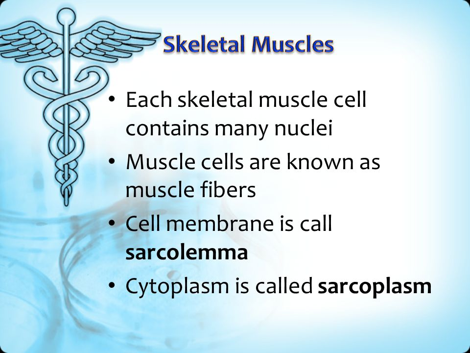 Skeletal Muscles Each skeletal muscle cell contains many nuclei