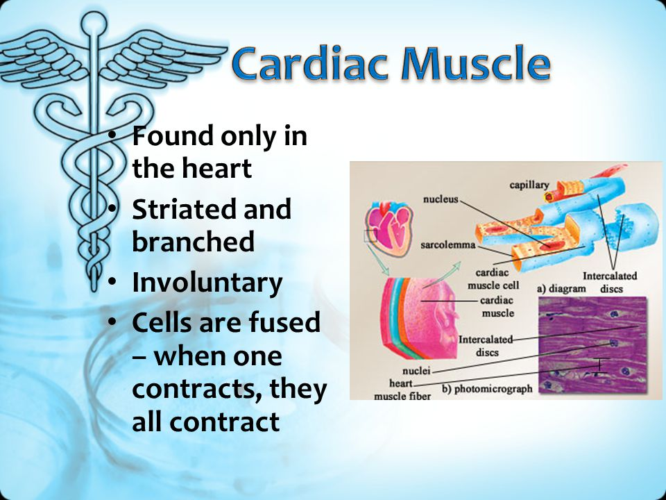 Cardiac Muscle Found only in the heart Striated and branched