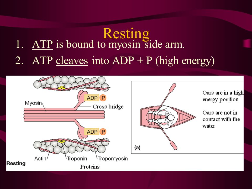 Resting ATP is bound to myosin side arm.
