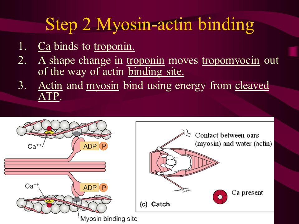 Step 2 Myosin-actin binding