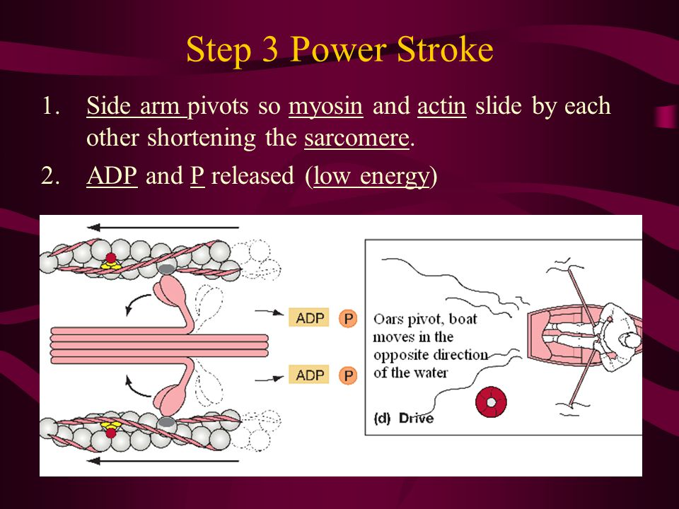 Step 3 Power Stroke Side arm pivots so myosin and actin slide by each other shortening the sarcomere.