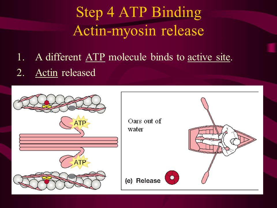 Step 4 ATP Binding Actin-myosin release