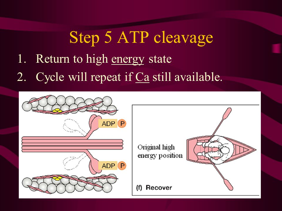 Step 5 ATP cleavage Return to high energy state