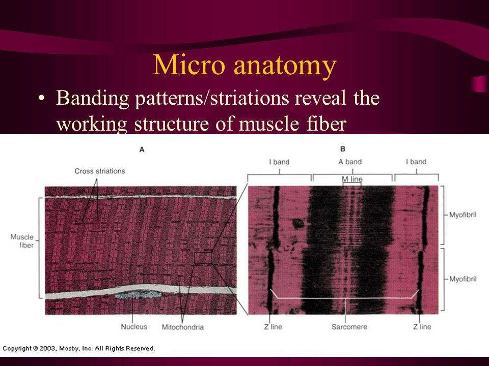 Micro anatomy Banding patterns/striations reveal the working structure of muscle fiber