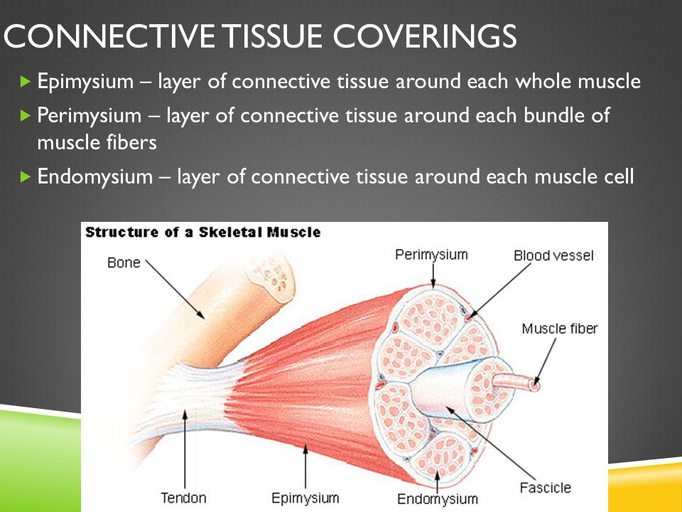 Connective Tissue Coverings