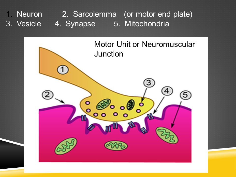 1. Neuron 2. Sarcolemma (or motor end plate)