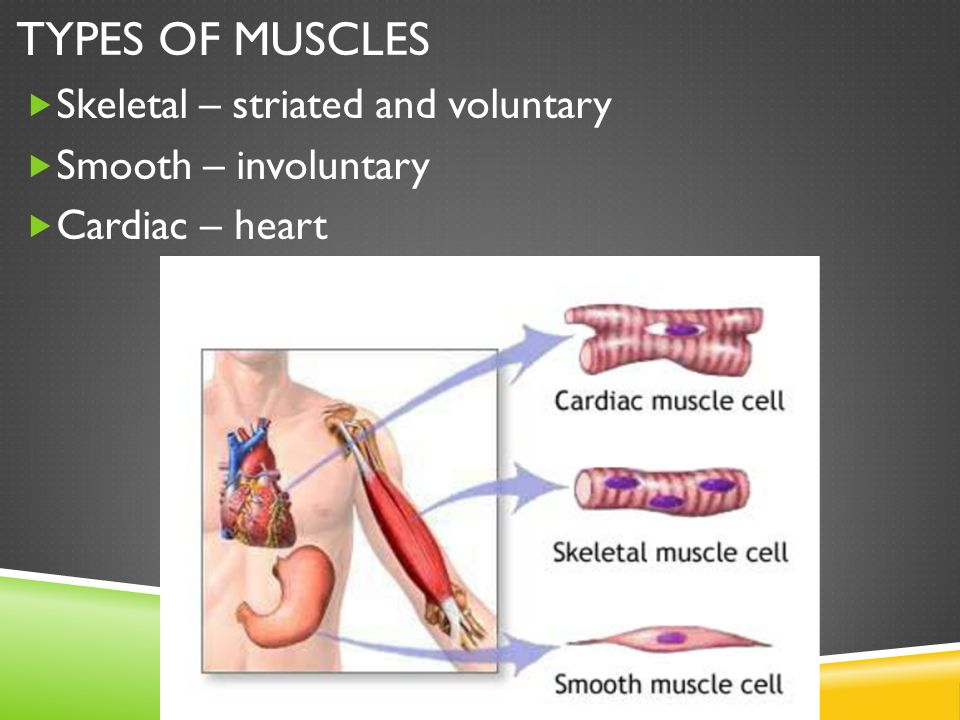 Types of Muscles Skeletal – striated and voluntary