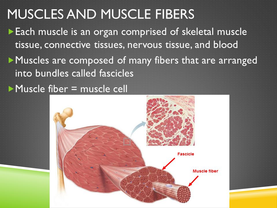 Muscles and Muscle Fibers