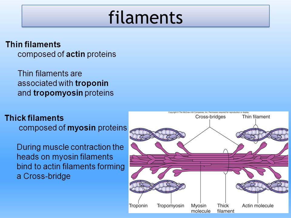 filaments Thin filaments composed of actin proteins