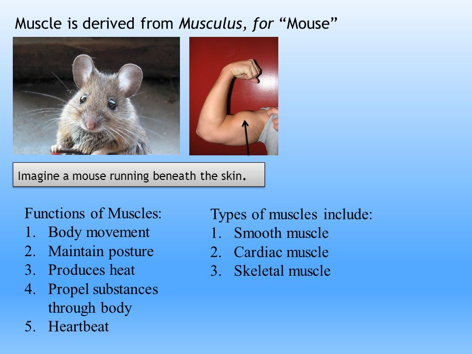 Muscle is derived from Musculus, for Mouse