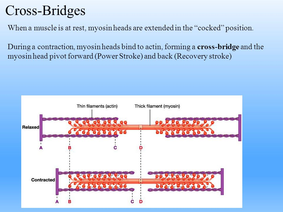 Cross-Bridges When a muscle is at rest, myosin heads are extended in the cocked position.