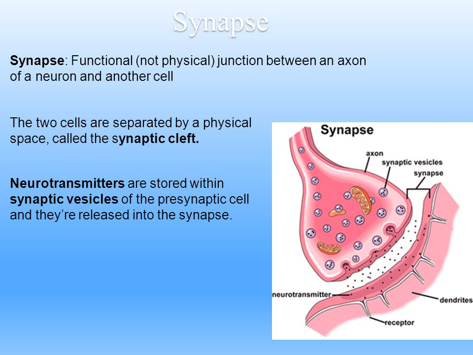 Synapse Synapse: Functional (not physical) junction between an axon of a neuron and another cell.