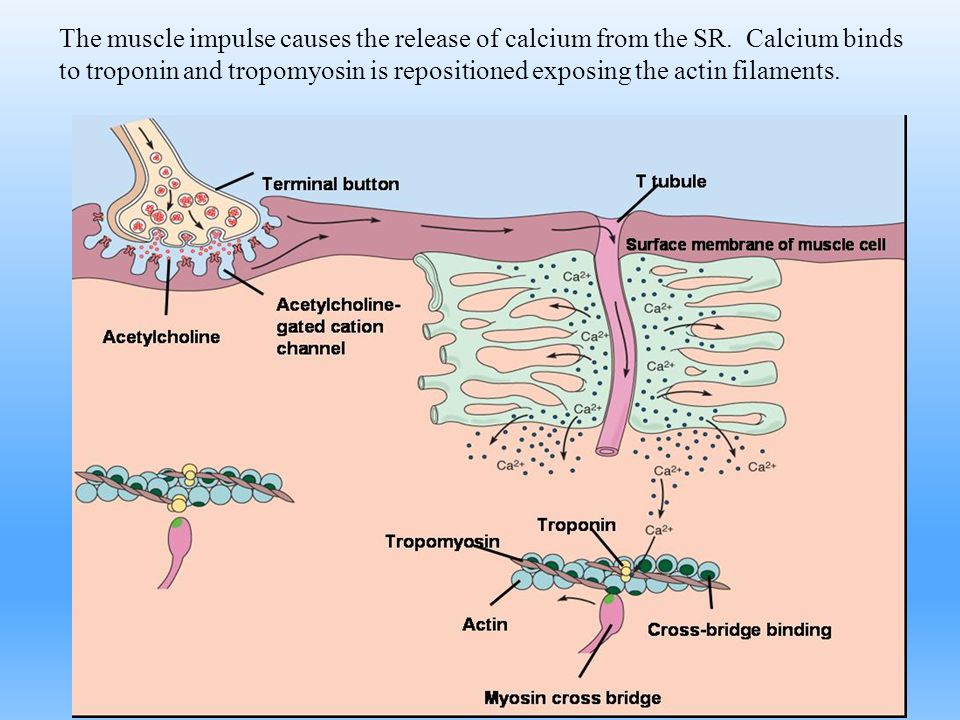 The muscle impulse causes the release of calcium from the SR
