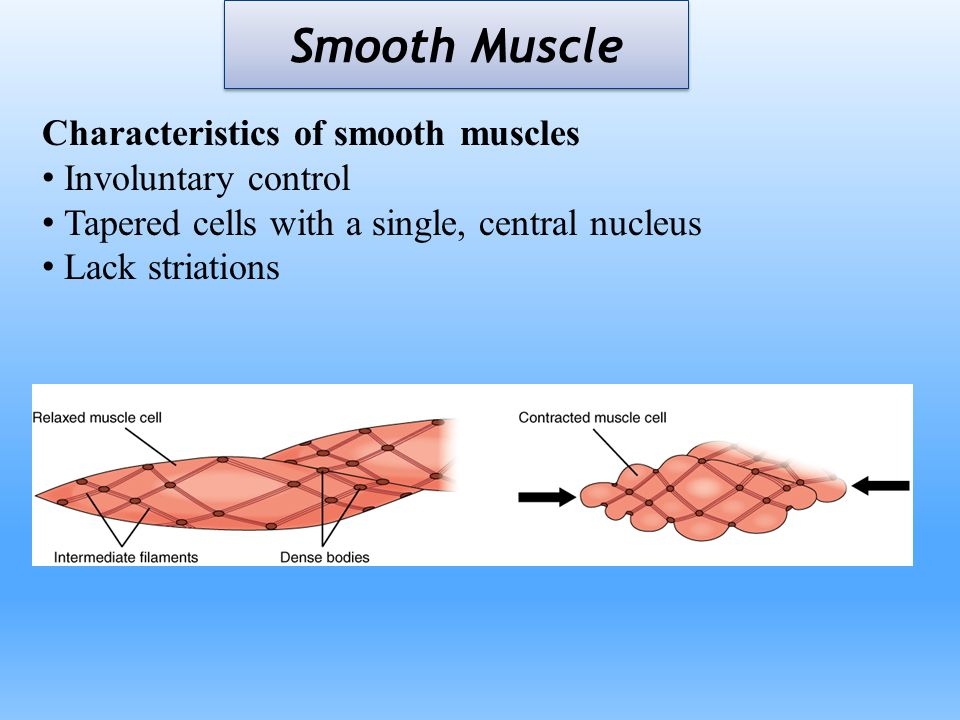 Smooth Muscle Characteristics of smooth muscles Involuntary control