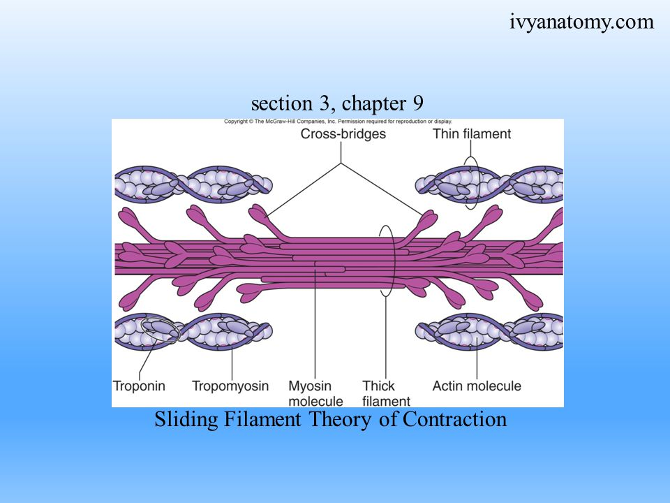 Sliding Filament Theory of Contraction