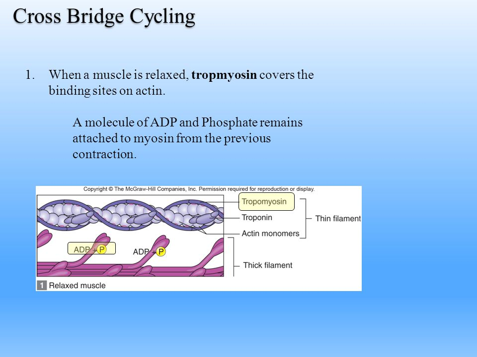 Cross Bridge Cycling When a muscle is relaxed, tropmyosin covers the binding sites on actin.