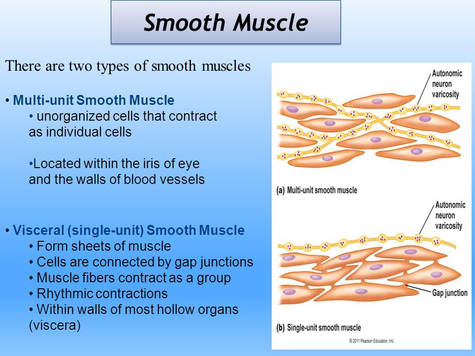 Smooth Muscle There are two types of smooth muscles