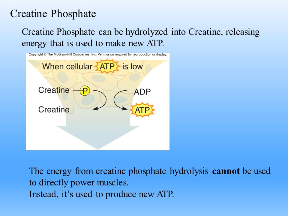 Creatine Phosphate Creatine Phosphate can be hydrolyzed into Creatine, releasing energy that is used to make new ATP.