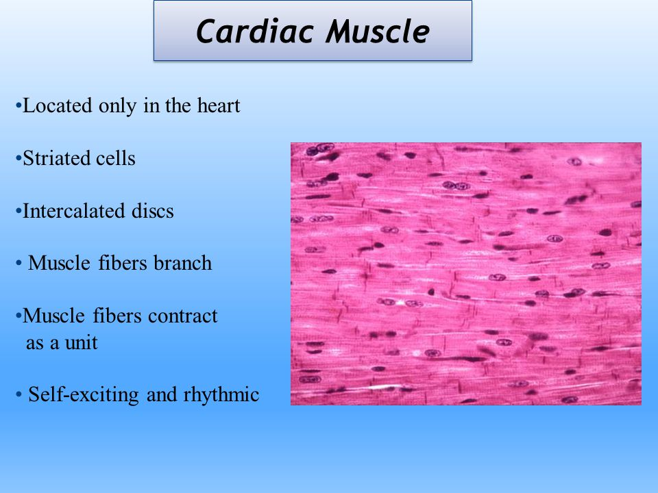 Cardiac Muscle Located only in the heart Striated cells