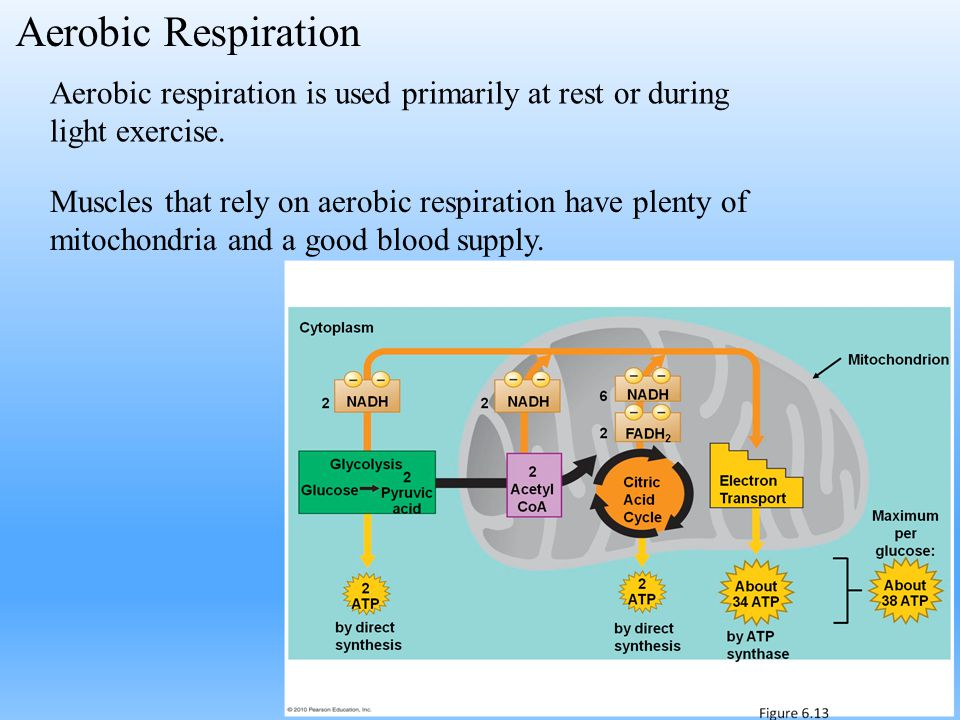 Aerobic Respiration Aerobic respiration is used primarily at rest or during light exercise.