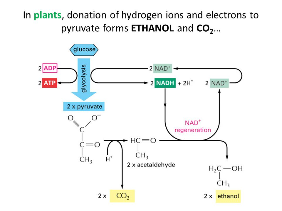 In plants, donation of hydrogen ions and electrons to pyruvate forms ETHANOL and CO2…