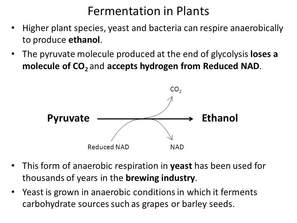 Fermentation in Plants
