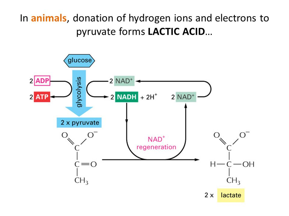 In animals, donation of hydrogen ions and electrons to pyruvate forms LACTIC ACID…