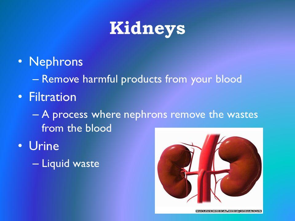 Kidneys Nephrons Filtration Urine