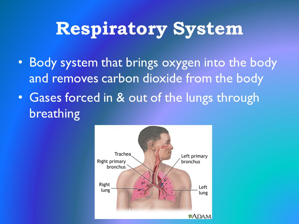 Respiratory System Body system that brings oxygen into the body and removes carbon dioxide from the body.