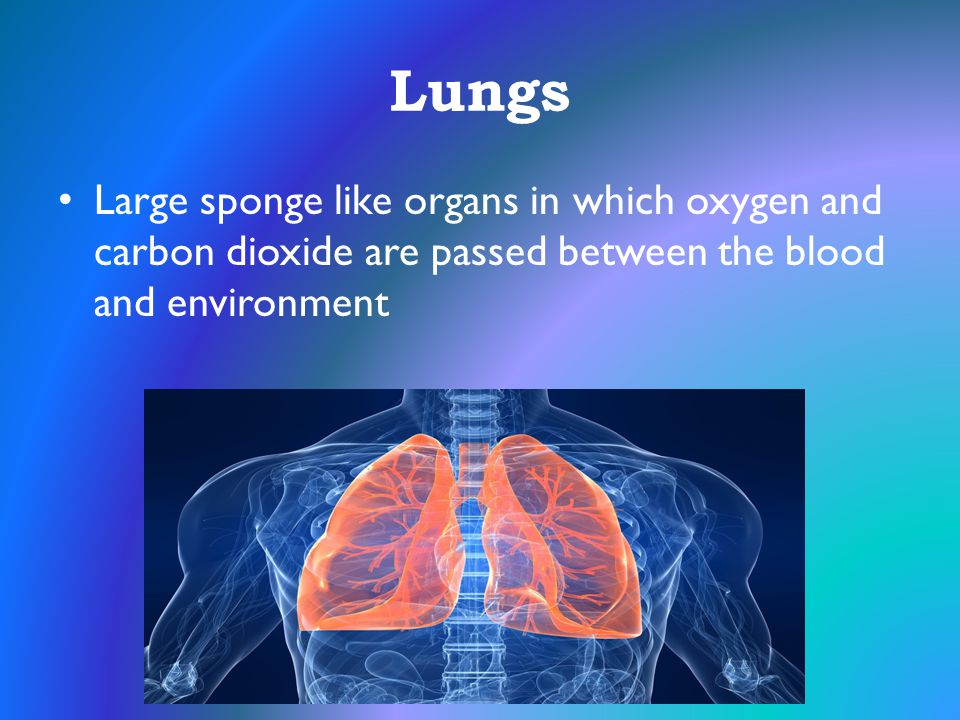Lungs Large sponge like organs in which oxygen and carbon dioxide are passed between the blood and environment.