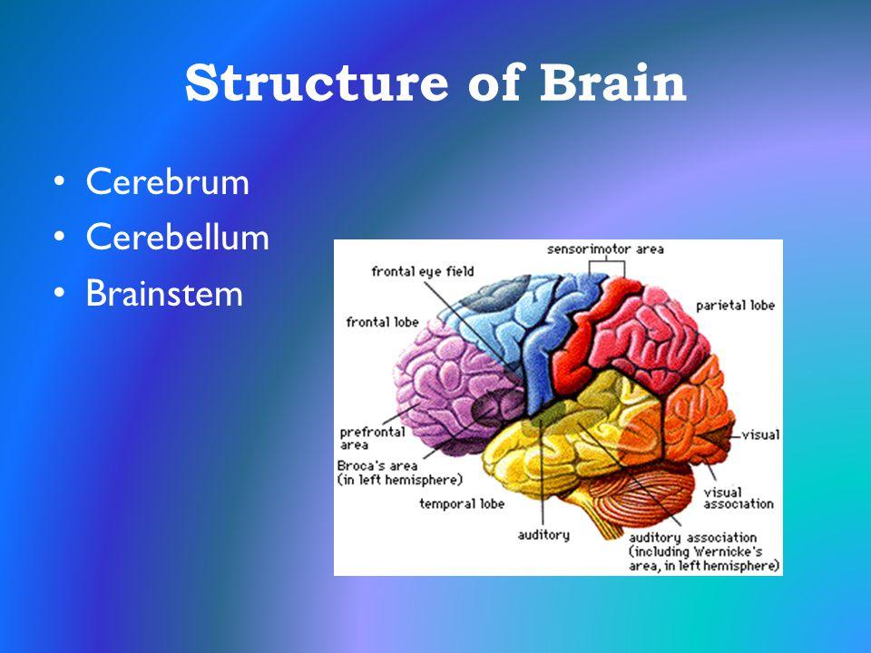 Structure of Brain Cerebrum Cerebellum Brainstem
