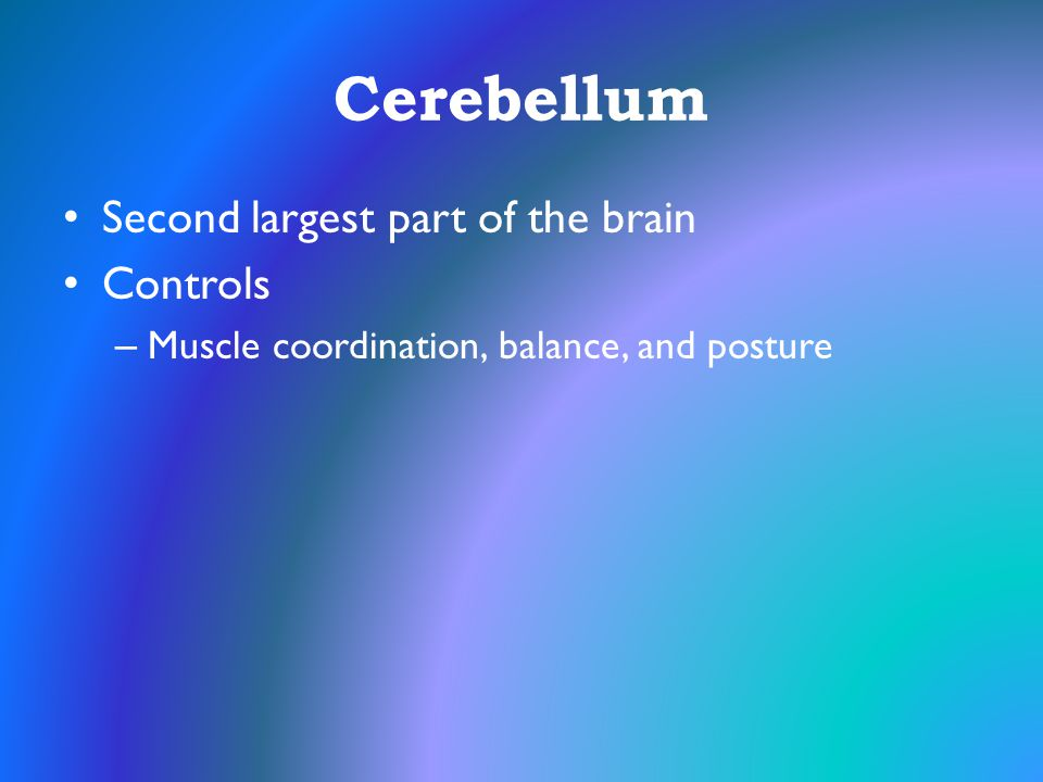 Cerebellum Second largest part of the brain Controls