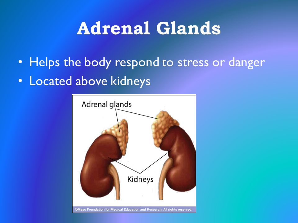 Adrenal Glands Helps the body respond to stress or danger