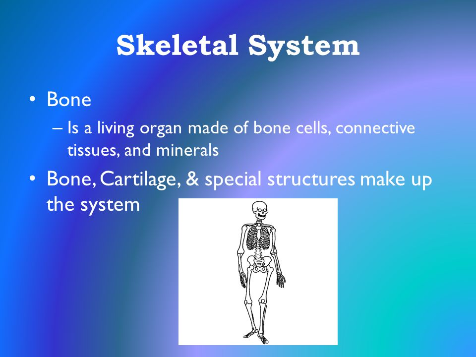 Skeletal System Bone. Is a living organ made of bone cells, connective tissues, and minerals.