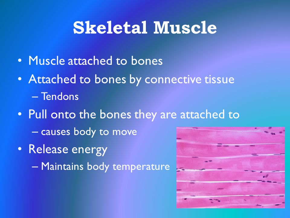 Skeletal Muscle Muscle attached to bones