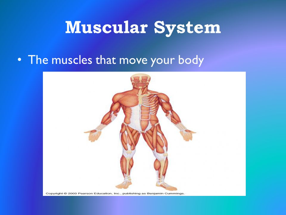Muscular System The muscles that move your body
