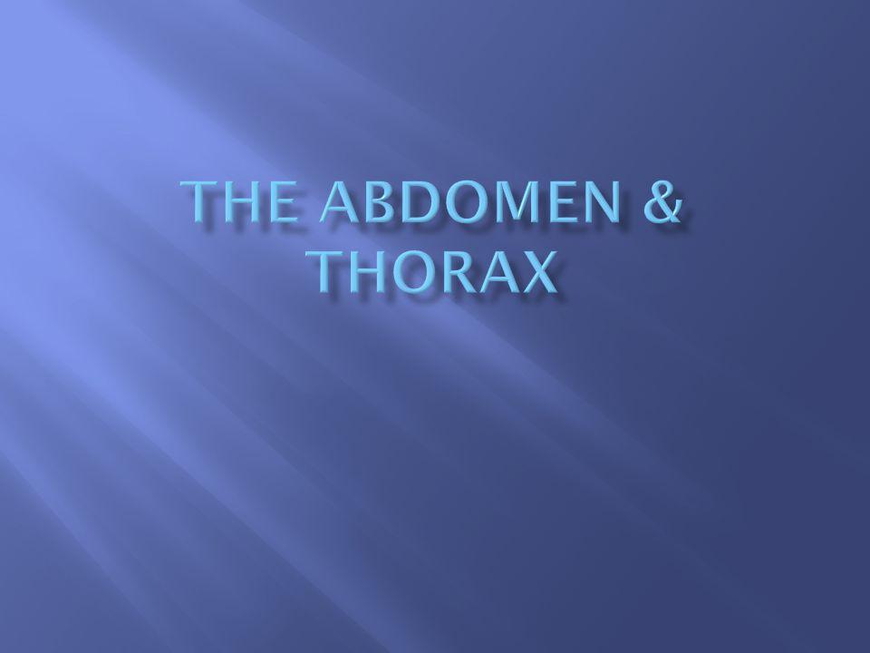 The Abdomen & Thorax